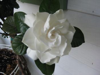 Full gardenia